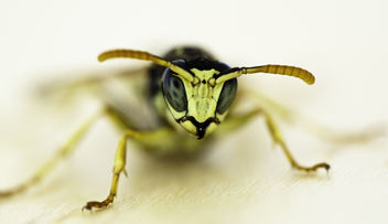 Wasp - Kostenloses image #288979