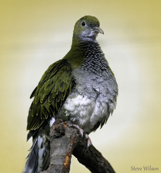 Female Superb Fruit Dove - image gratuit #288989