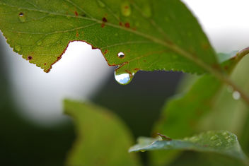 Raindrop from a leaf - image #289069 gratis