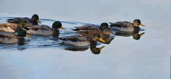 Ducks on a morning swim - image #289509 gratis