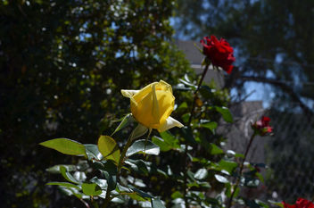 Flowers & Roses - Kostenloses image #289749
