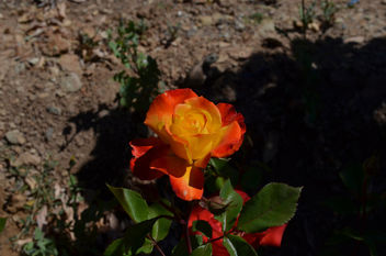 Flowers & Roses - Kostenloses image #289759