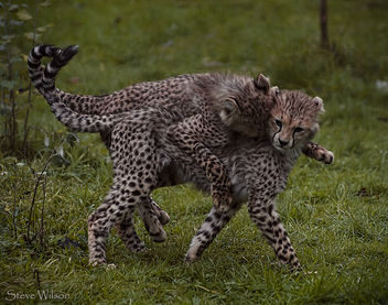 Cheetah Twins Playing - image gratuit #290109