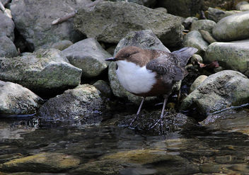 Cincle plongeur Cinclus cinclus - White-throated Dipper - image #291389 gratis