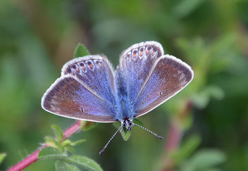 Chalk Hill Blue Butterfly - image gratuit #292089