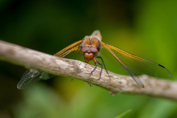 Scarce Chaser - image gratuit #292209