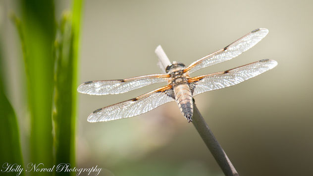 Hunting Dragonflies - Free image #292549