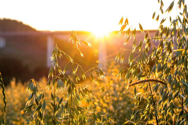 Sun shining through oats - Free image #292809