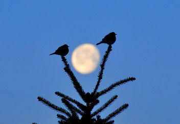 Mountain bluebirds silhouetted by moon Seedskadee NWR - Free image #293459