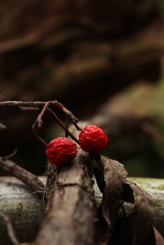 Two red berries - Kostenloses image #294139