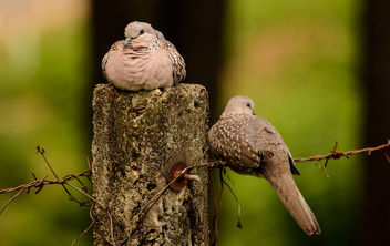 Doves - #45 - Free image #294649