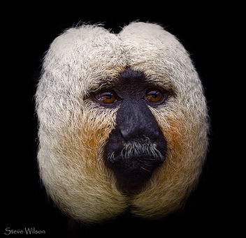 Male White Face Saki at Chester Zoo - Free image #294759