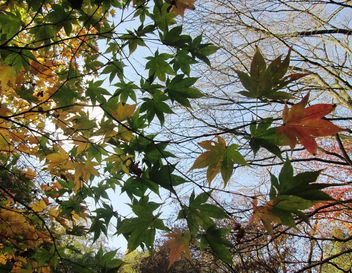 Green and yellow Japanese Maple leaves in Winkworth Arboretum - Free image #294789