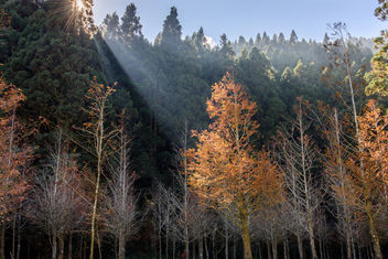 Dawn Redwood - image gratuit #294999