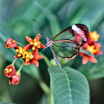20141130__5D_1055 v03 Clearwing Butterfly.jpg - Free image #295439