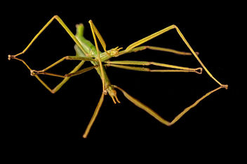 Stick insect. - Kostenloses image #295499