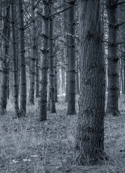 Pine Forest - Free image #296019