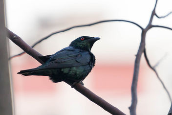 Asian Glossy Starling - бесплатный image #296189