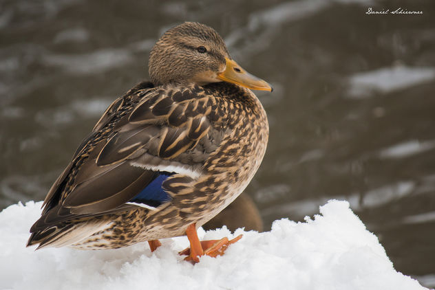 Duck - Ente - Free image #296199