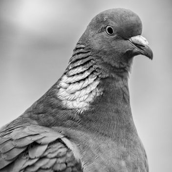 20150207__5D_2512 v02 bw Pigeon Wood Pigeon.jpg - Kostenloses image #296389