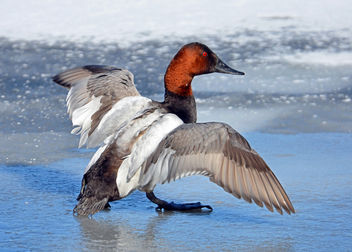 Canvasback Duck - Kostenloses image #296409