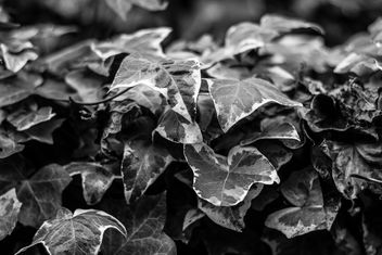 Patterns project - BW leaves - image #296839 gratis