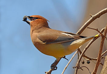Cedar Waxwing with Berry - image #296919 gratis