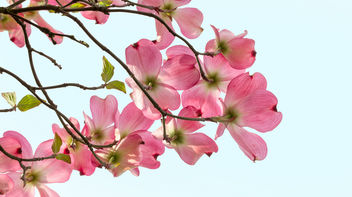 Early morning Dogwood.jpg - бесплатный image #297009