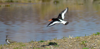 Lapwing and Oystercatcher - image #297029 gratis