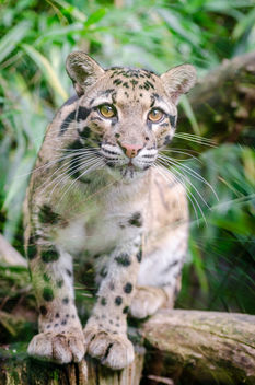 Clouded leopard - Free image #298259