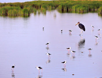 Tanzania (Serengeti National Park) Black-Winged Stilts and a Stork - бесплатный image #298269
