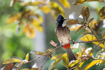 Red Vented Bulbul, locally Kondaya - image #298349 gratis
