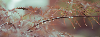 Japanese Maple Droplets - Free image #298949