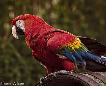 Scarlet Macaw - Kostenloses image #299049
