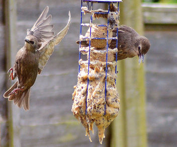 Young starlings at the feeder - Free image #299199
