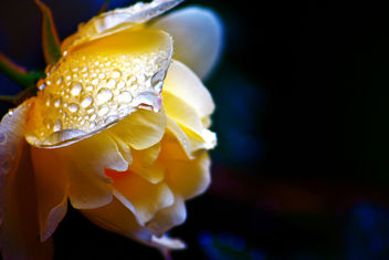 Reflection of a Rose - image gratuit #299239