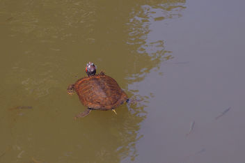 Turkey (Istanbul) Turtle and fishes swimming altogether - Kostenloses image #299459