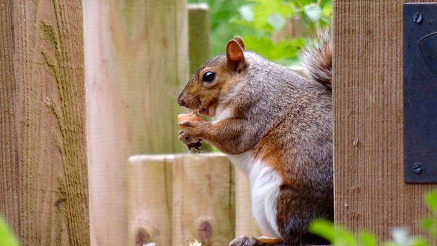 Squirrel eating a strawberry at Leighton Moss - бесплатный image #299749