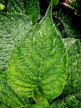 Wet leaf - Free image #300789