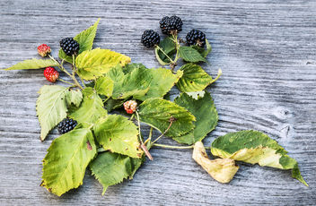 late season blackberries - Free image #300989