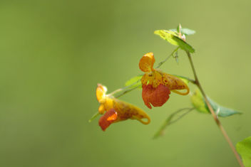 jewel weed or touch-me-not flowers(Impatiens pallida) - Free image #301099