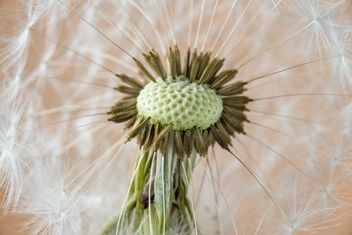 Beautiful dandelion flower - бесплатный image #301379