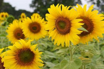 Fields of sunflowers - image #301419 gratis
