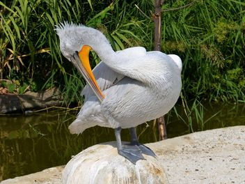 American pelican rests - Free image #301609