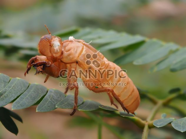 Cicada moulting in the garden - image #301729 gratis