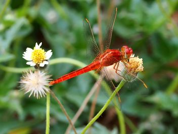 Red Dragonfly on a flower - бесплатный image #301749
