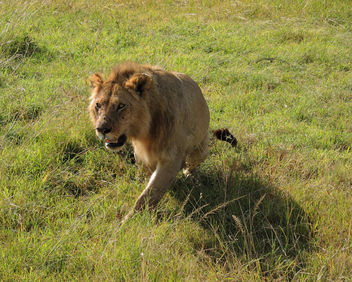 Kenya (Masai Mara) Sensing something to hunt !! - image #302749 gratis