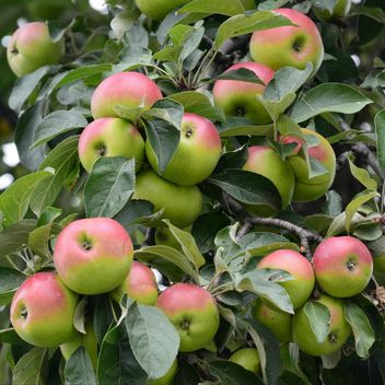 Apples on a tree branch - image gratuit #303269