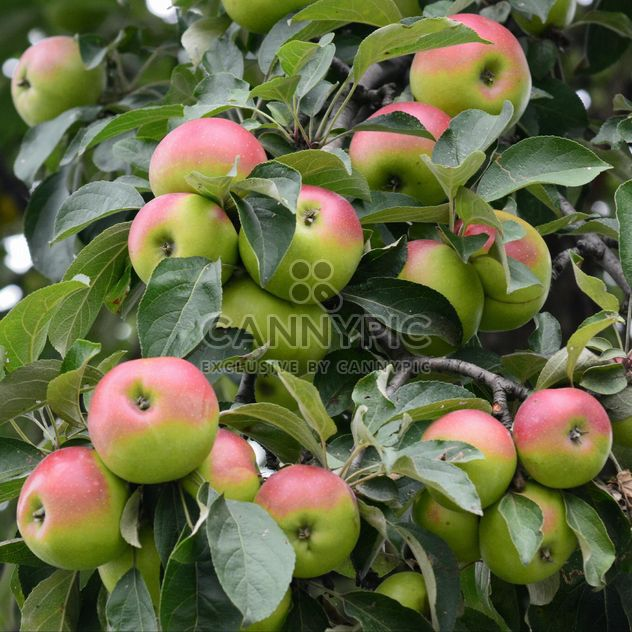 Apples on a tree branch - Free image #303269