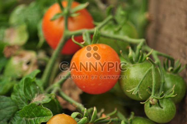 Tomatoes on a branch - Free image #304019